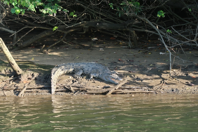 Crocodile sitting on mud under mangroves on the Daintree River