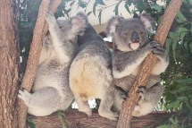 Koalas repositioning on a branch
