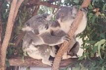 Kindy Koalas playing