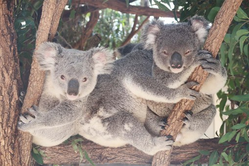 Kindy Koalas being adorable